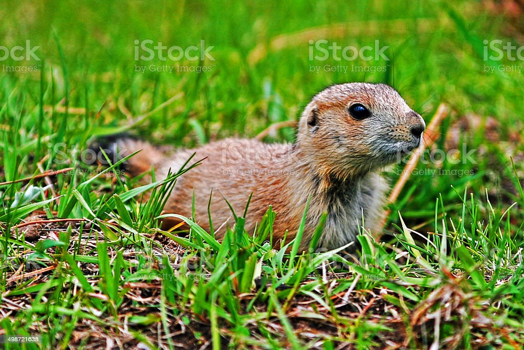 Prairie Dog Pup in Wind Cave National Park stock photo