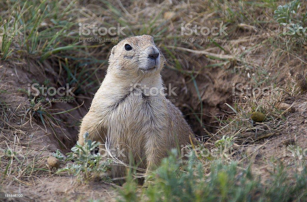 Prairie Dog Smiling stock photo