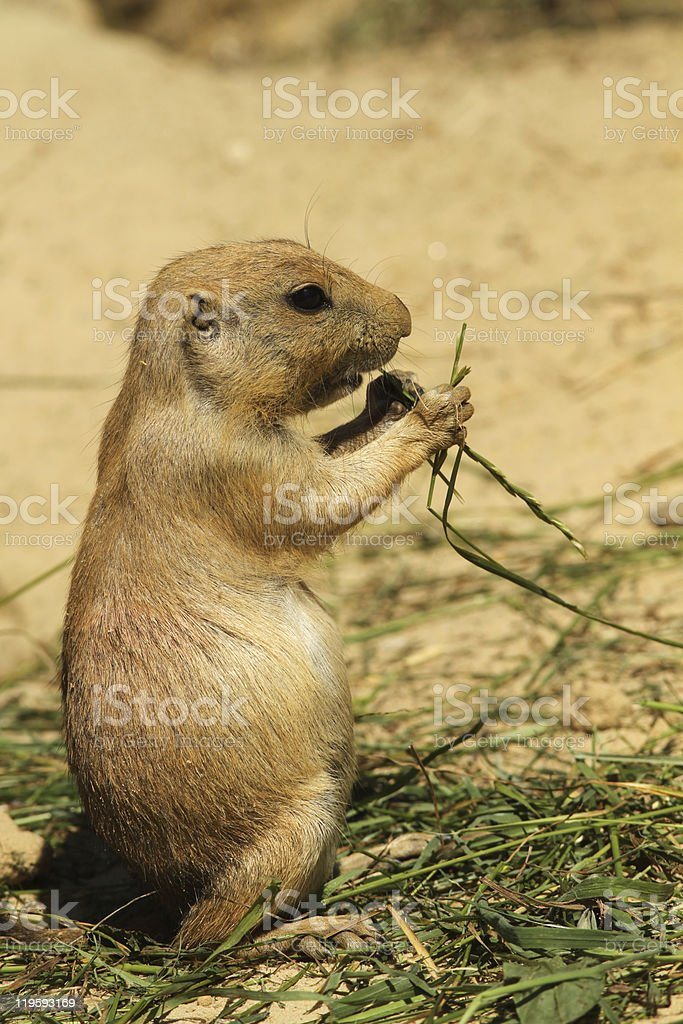 Prairie dog standing and eating stock photo