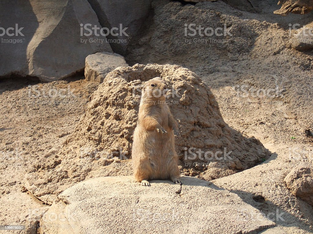 Prairie dog standing in front of hole. stock photo