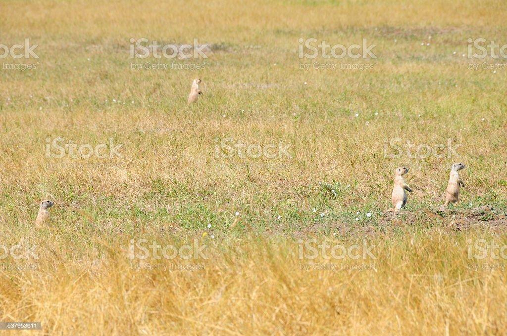 Prairie Dog Town, Badlands National Park, South Dakota stock photo