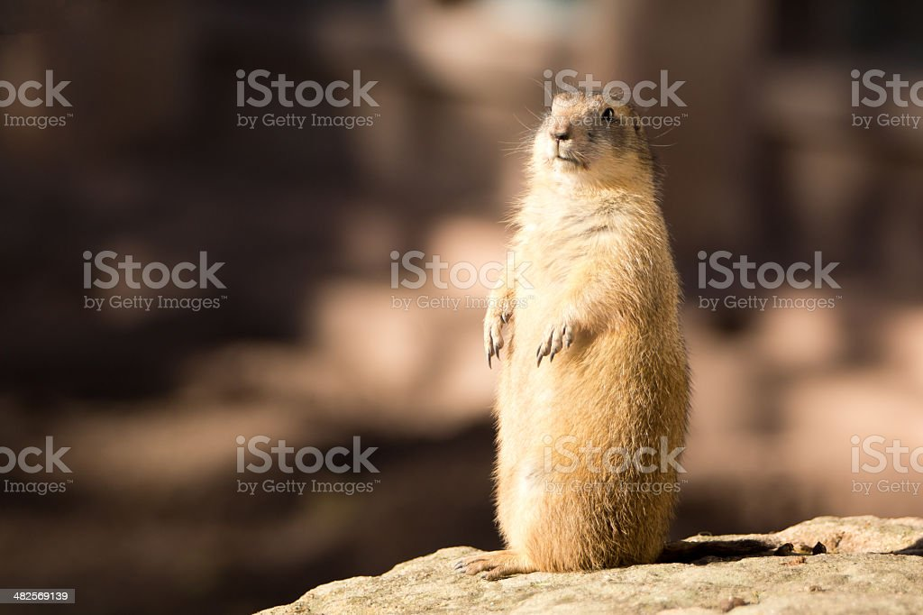 Prairie dog \tto sit up and beg stock photo
