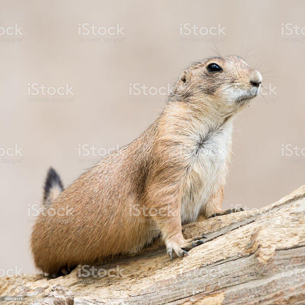 Prairie Dog VI stock photo