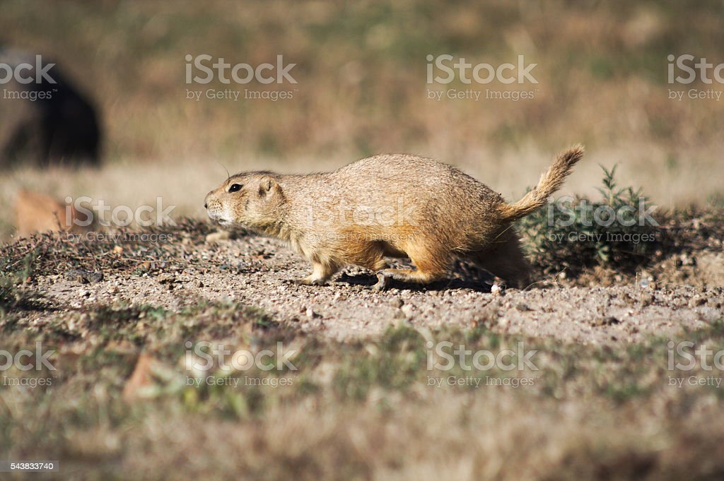 Prairie Dog Walking stock photo