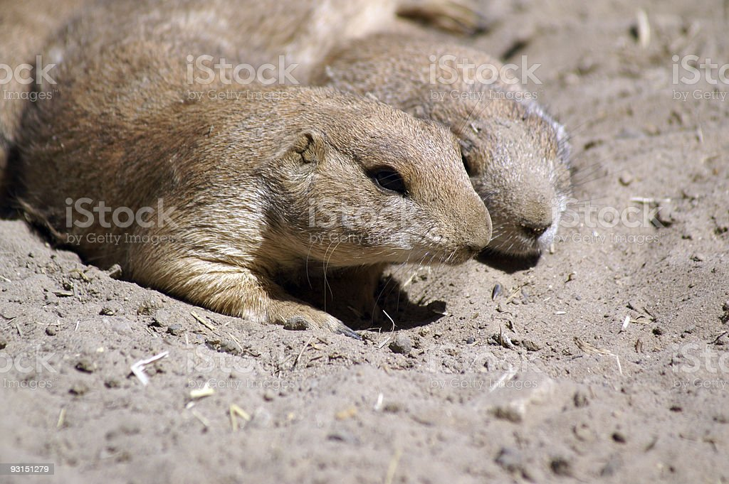 prairie dogs couple resting stock photo