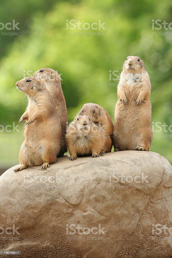 Prairie dogs on rock stock photo