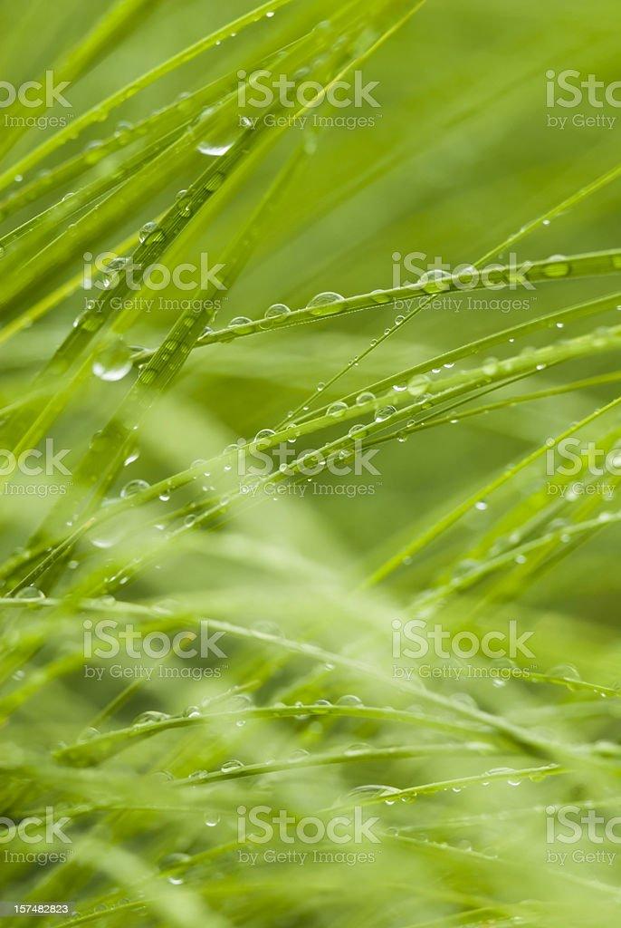 Prairie dropseed (Sporobolus heterolepis), after the rain - I royalty-free stock photo