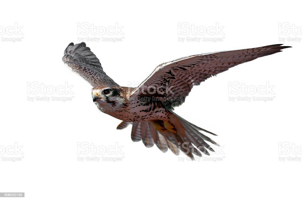 Prairie Falcon stock photo