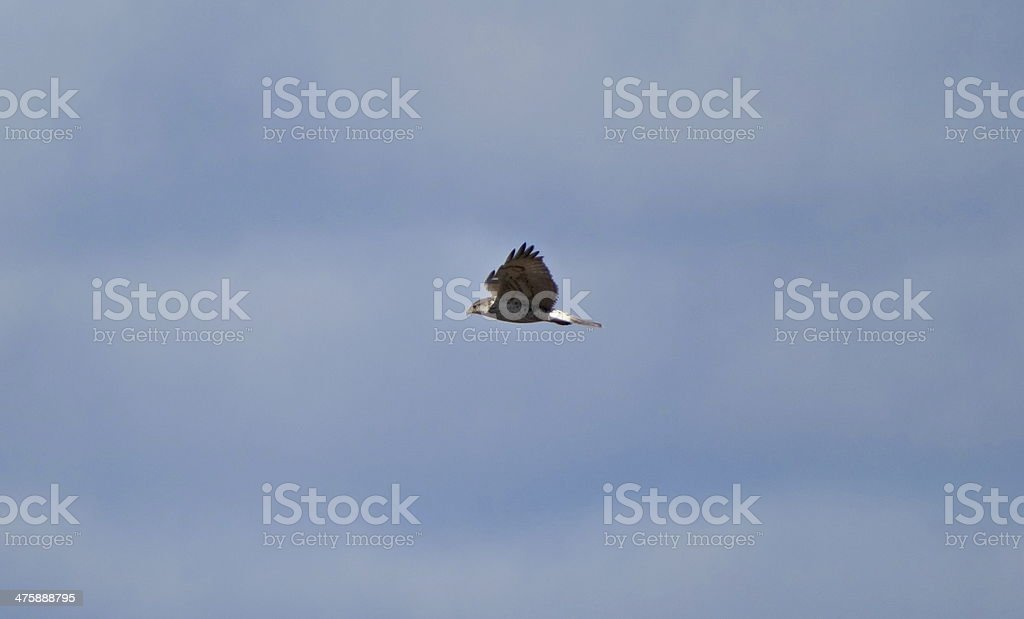 Prairie Falcon Wings stock photo