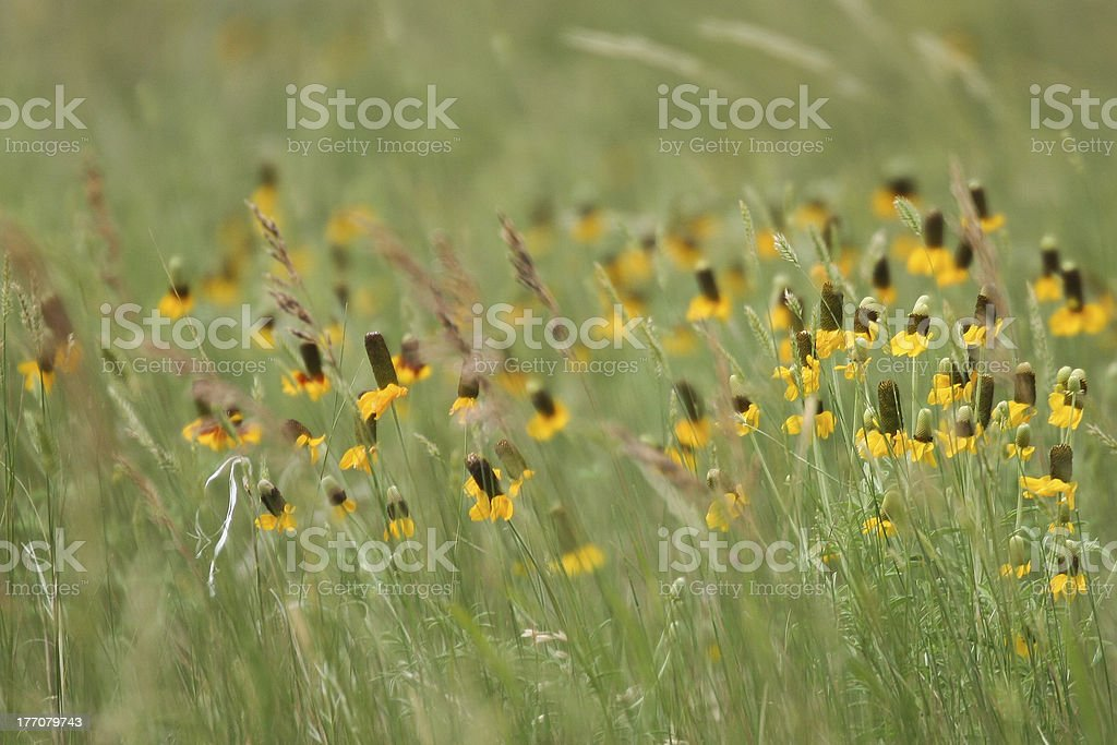 Prairie Flowers royalty-free stock photo