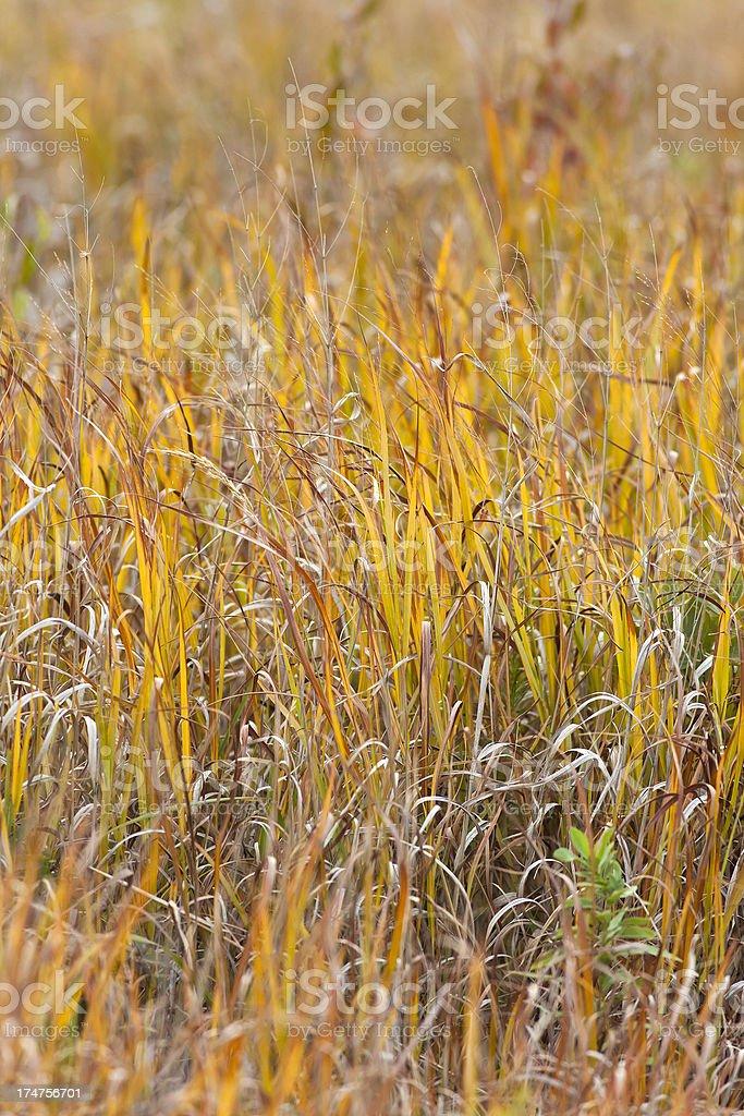 Prairie Grass From Kansas royalty-free stock photo