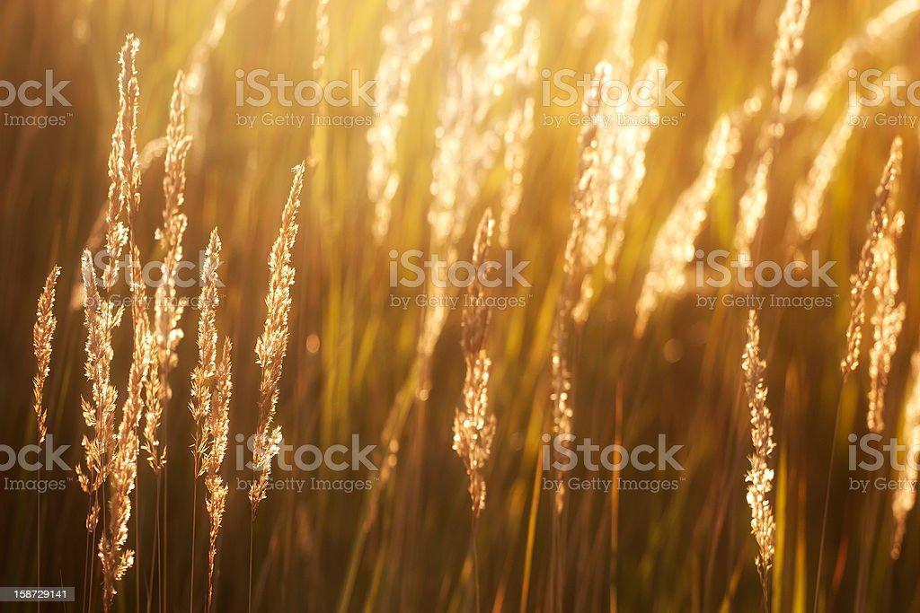 Prairie grass in the sunshine royalty-free stock photo