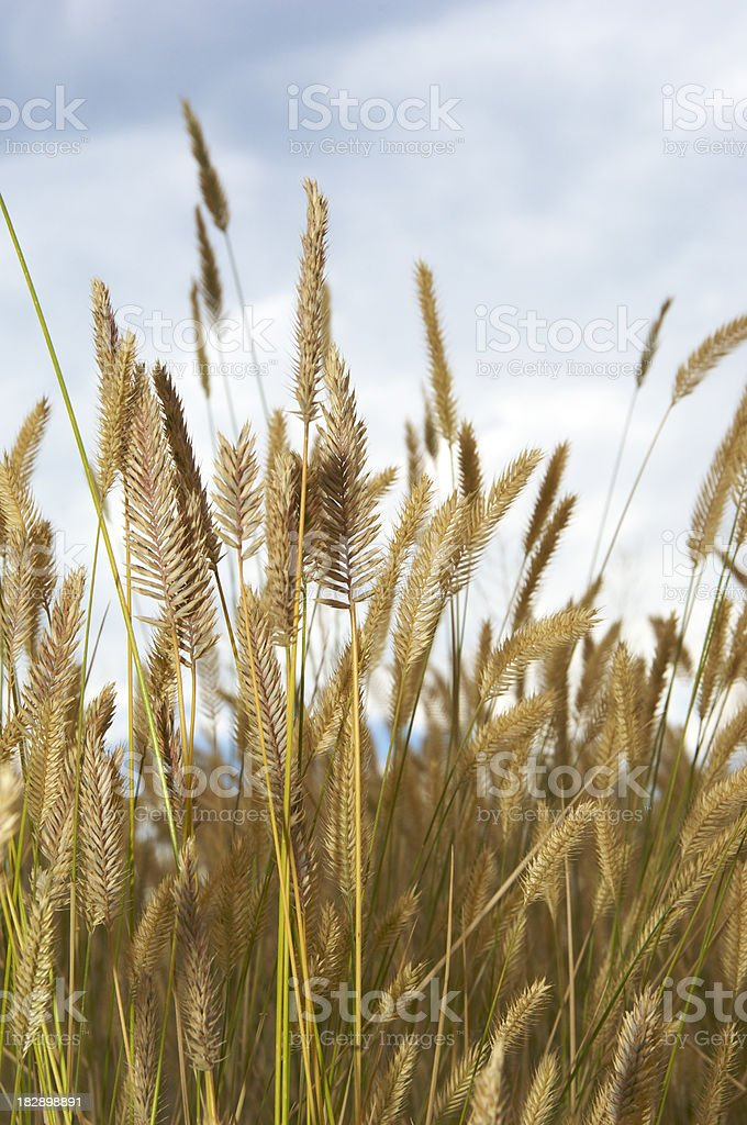 Prairie Grass Pasture royalty-free stock photo