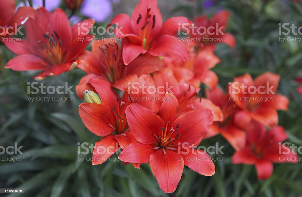 Prairie Lily patch royalty-free stock photo
