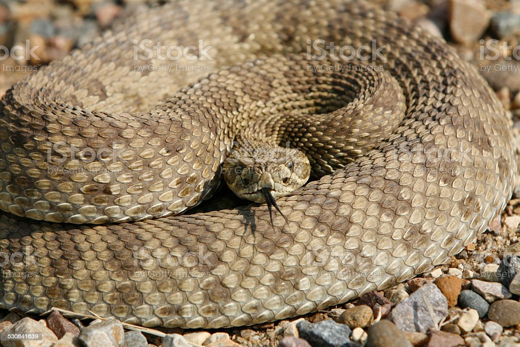 Prairie rattlesnake stock photo