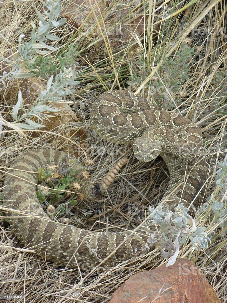Prairie rattlesnake rattles Mount Falcon Colorado Rocky Mountains stock photo
