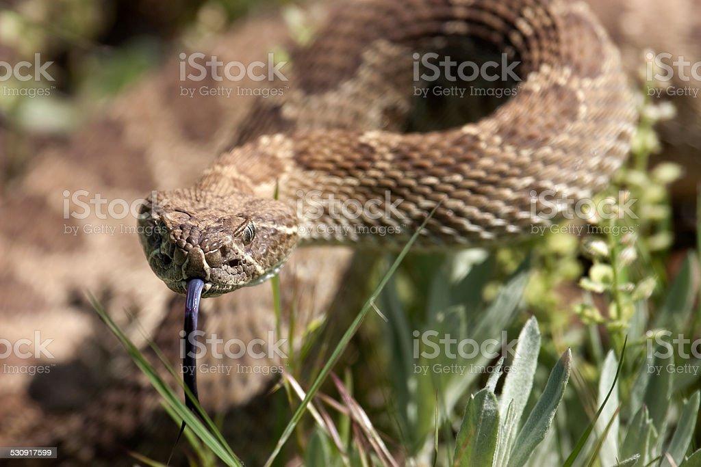 Prairie rattlesnake ready to strike Colorado state park stock photo