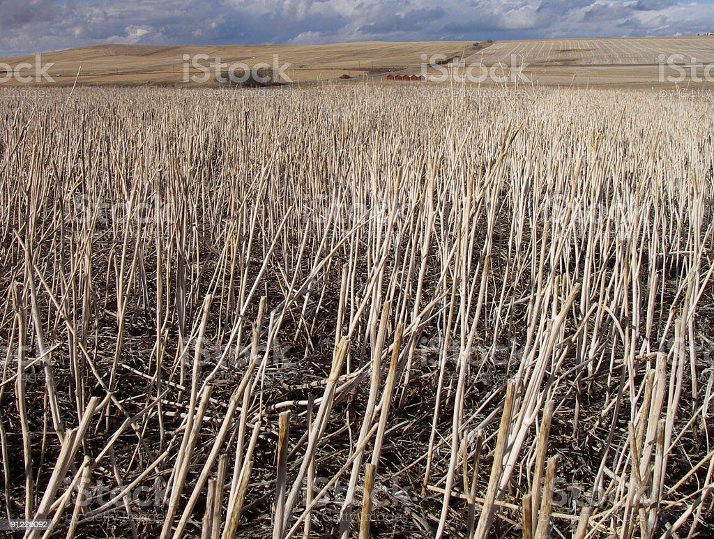 Prairie Stubble royalty-free stock photo