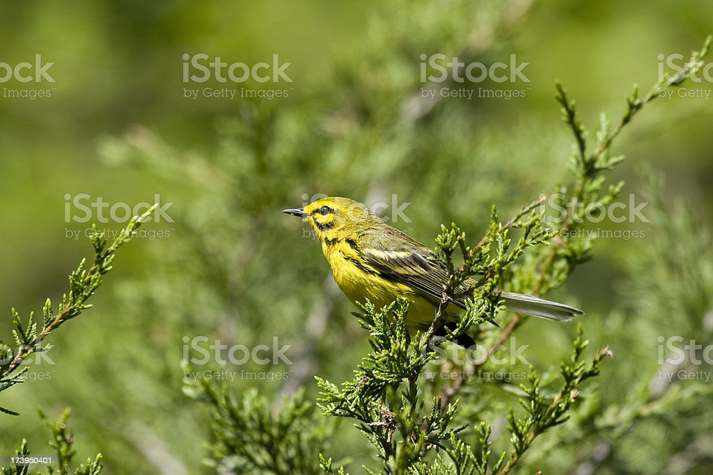 Prairie Warbler (Dendroica discolor) stock photo