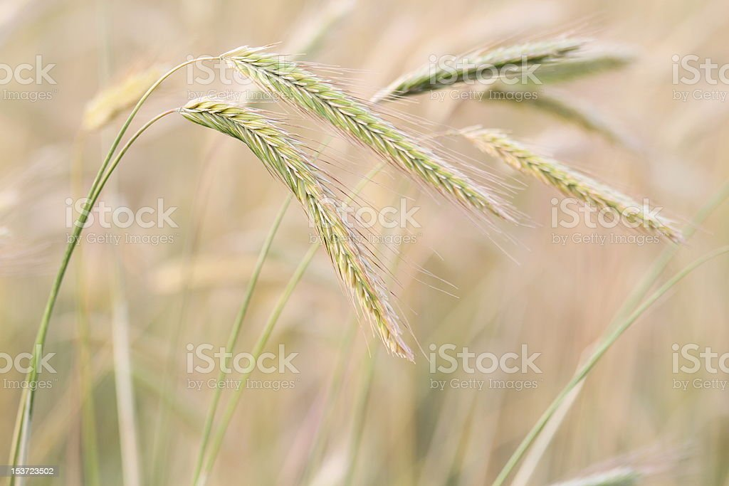 Prairie Wheat stock photo