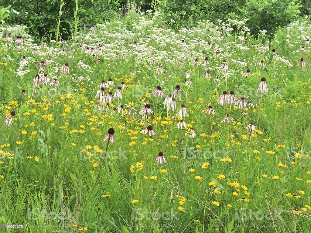 Prairie wildflowers galore at edge of woods in summer stock photo