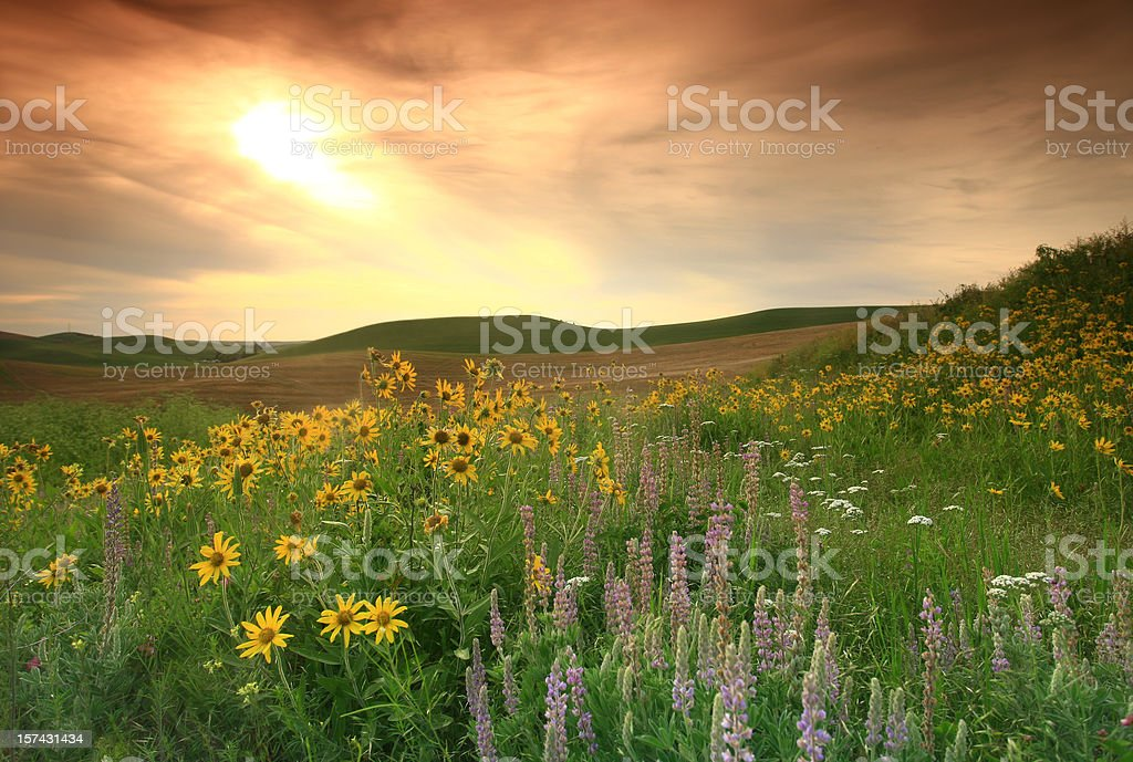 Prairie Wildflowers on the Great Plains stock photo