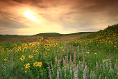 Prairie Wildflowers on the Great Plains
