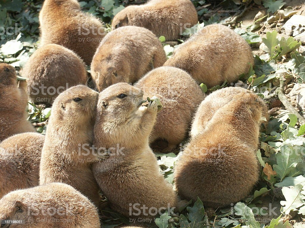 Prairiedogs as friends royalty-free stock photo