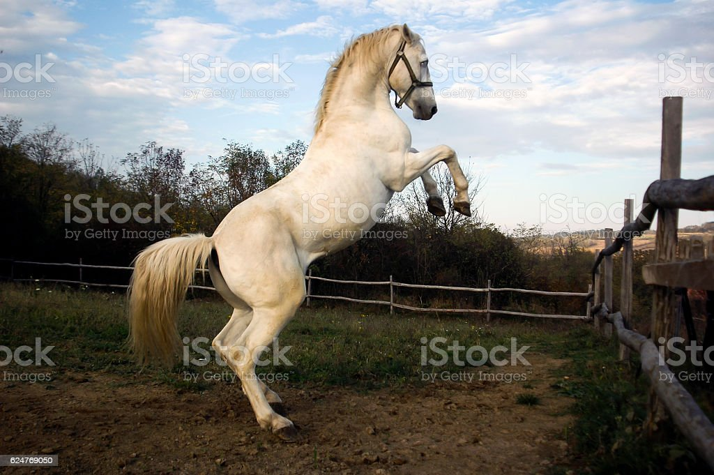 prance horse stock photo