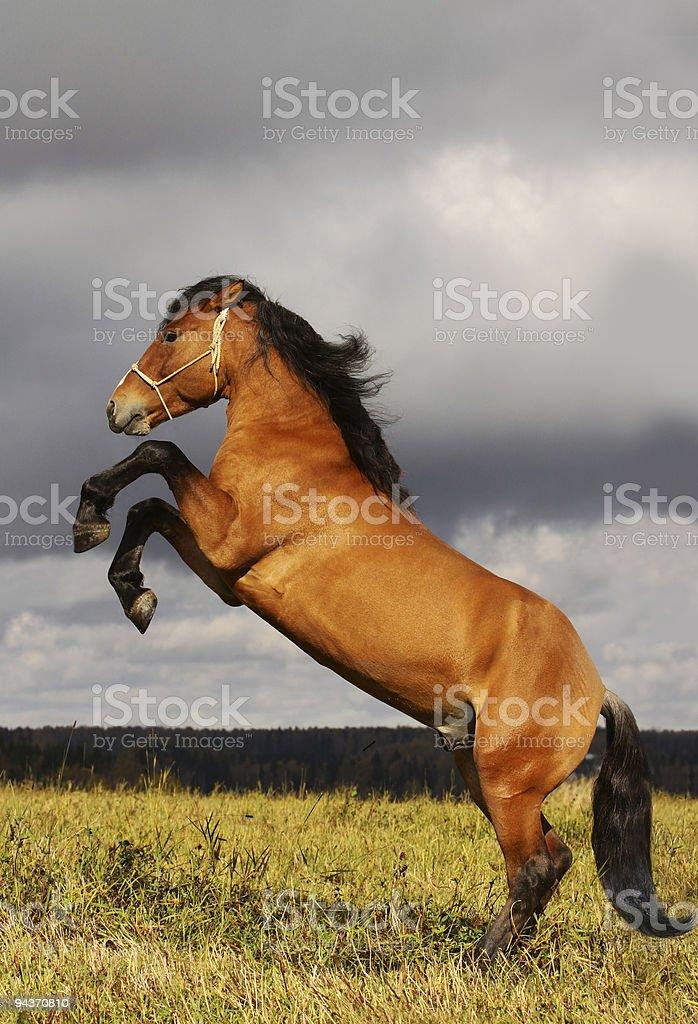 prancing stallion stock photo