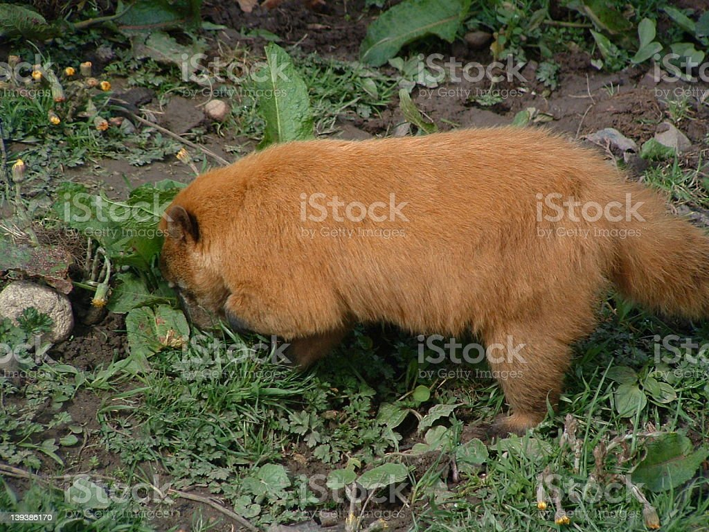 Prarie dog digging royalty-free stock photo