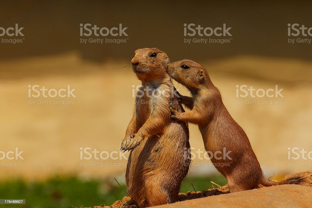 Prarie Dog Friends stock photo