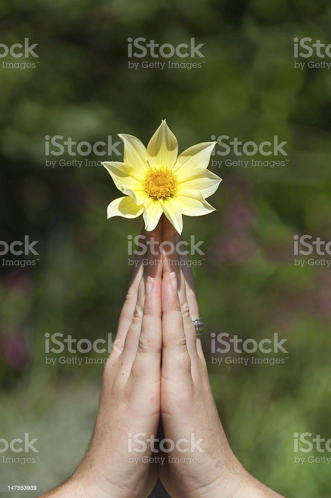 Manos de oración con flor foto de stock libre de derechos