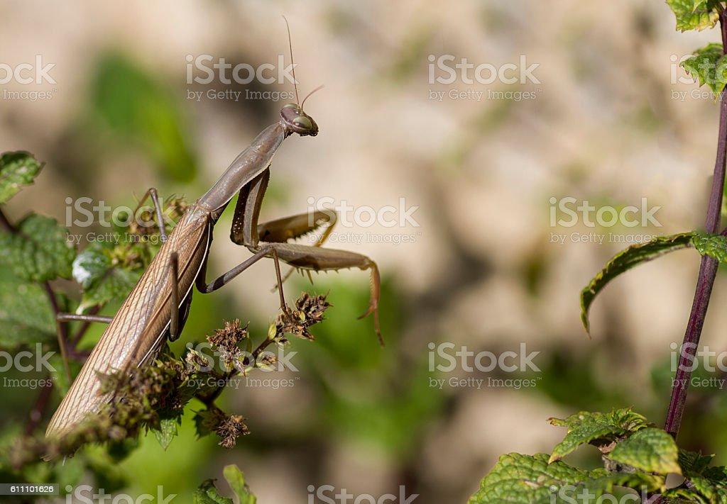 Praying mantis close-up stock photo