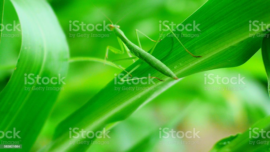 Praying mantis in a forest stock photo
