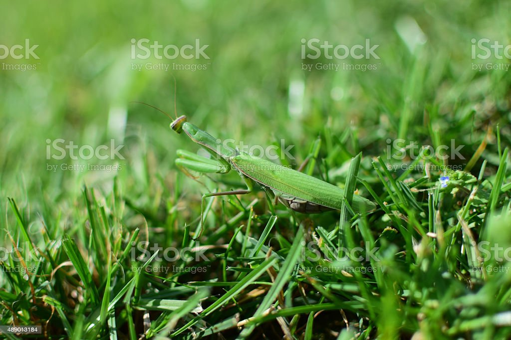 Praying Mantis in the grass stock photo