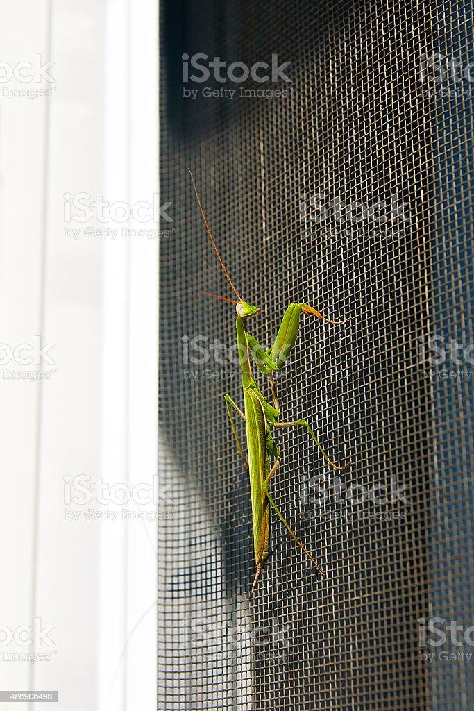 Mantis religiosa de insectos en la naturaleza. Mantis religiosa religiosa. foto de stock libre de derechos