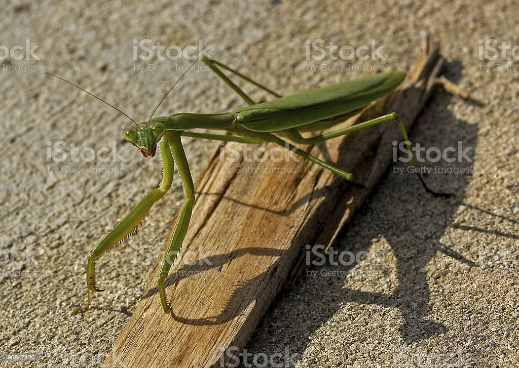 praying mantis looking at you royalty-free stock photo