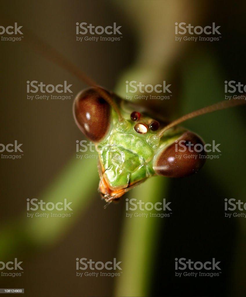 Praying Mantis - Macro stock photo