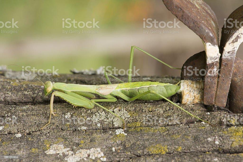 Praying Mantis Nest royalty-free stock photo