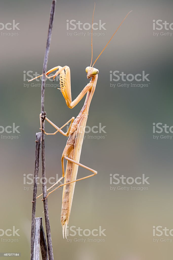 praying mantis on a branch isolated stock photo