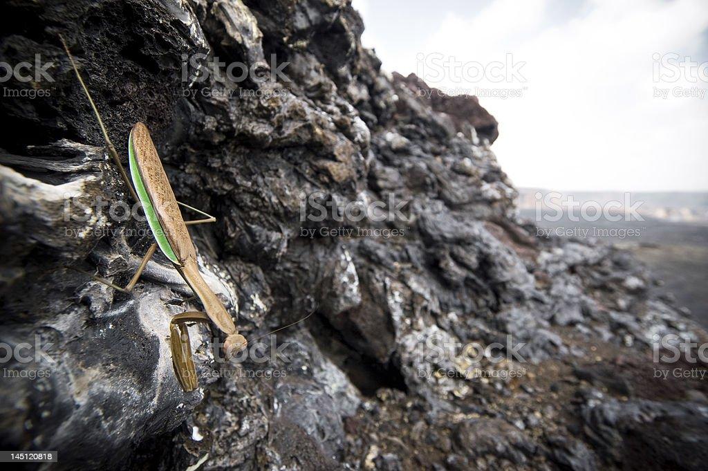 Praying Mantis on a rock royalty-free stock photo