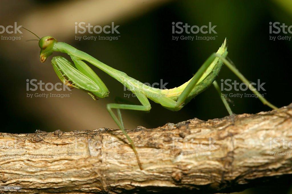 Praying Mantis on Branch royalty-free stock photo