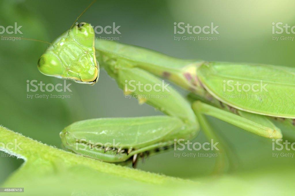 Praying Mantis on leaf close-up royalty-free stock photo