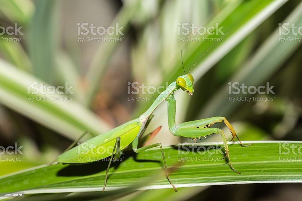 praying mantis on leaf, Sulawesi, Indonesia stock photo