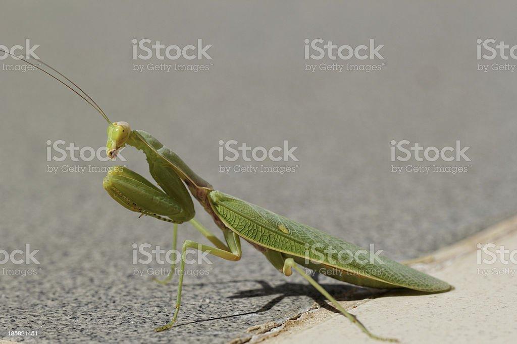 Praying Mantis on the floor royalty-free stock photo
