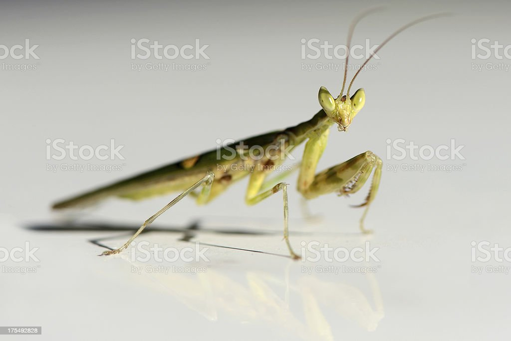 Praying Mantis on top of white car royalty-free stock photo