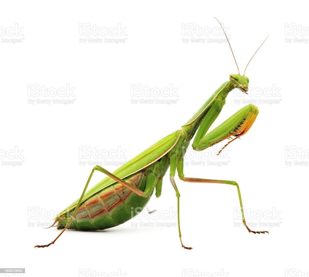 Praying mantis on white background  stock photo
