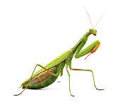 Praying mantis on white background