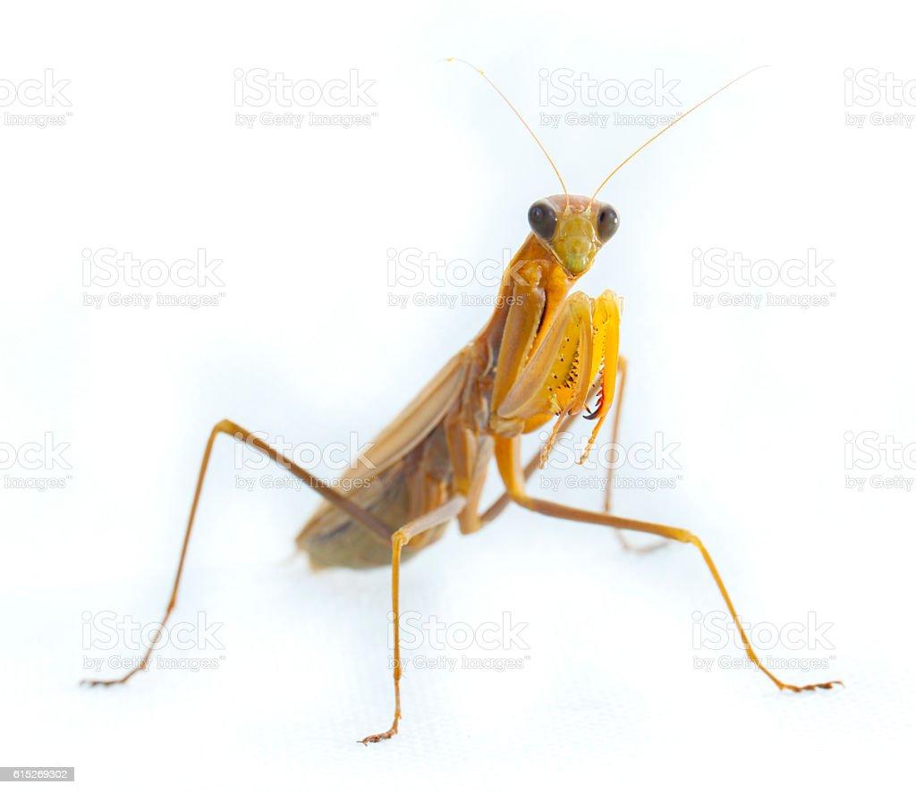 Praying mantis on white stock photo